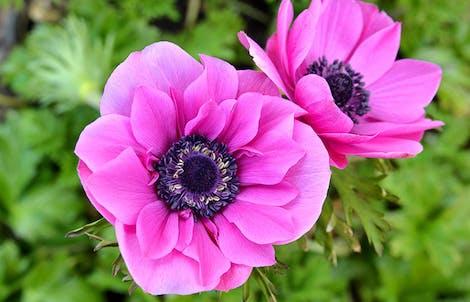 Photograph of anemones