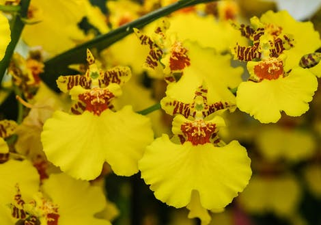 Photograph of oncidium orchids