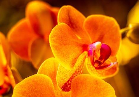 Photograph of orange orchids