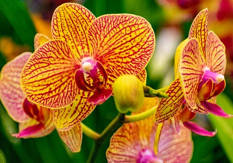 Photograph of yellow orchids