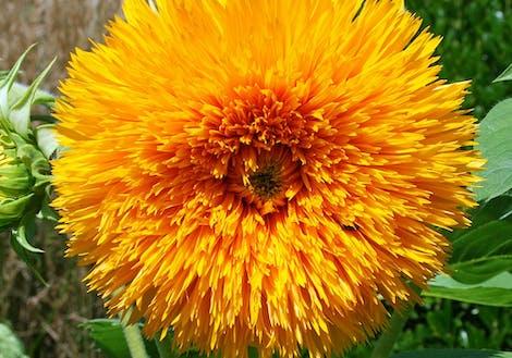 Close-up photograph of Teddy Bear Sunflowers