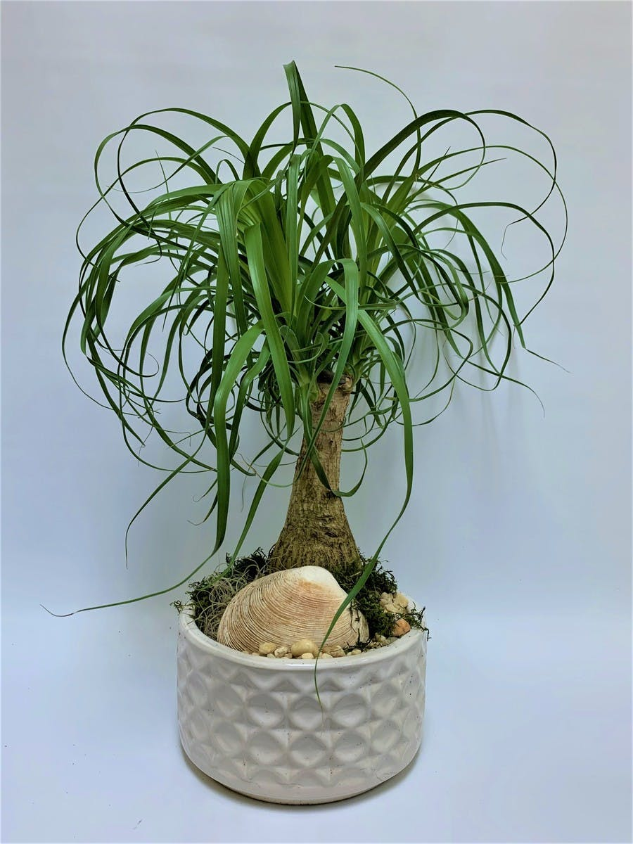 Pony Tail Bonsai Bonsai Plants Palm Beach Gardens Delivery Fl Flower Kingdom